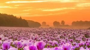 campo lilas